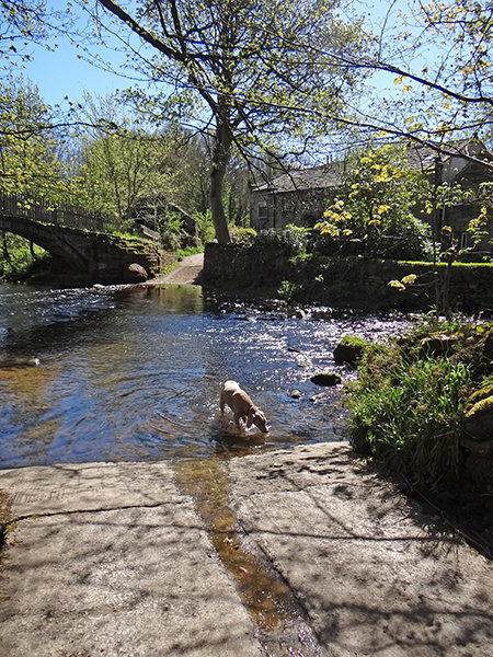 Fudge drinking from a stream in Bingley