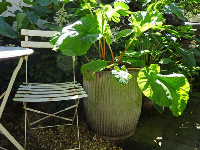 Rhubarb plant in a vintage dolly tub in our garden | H is for Home