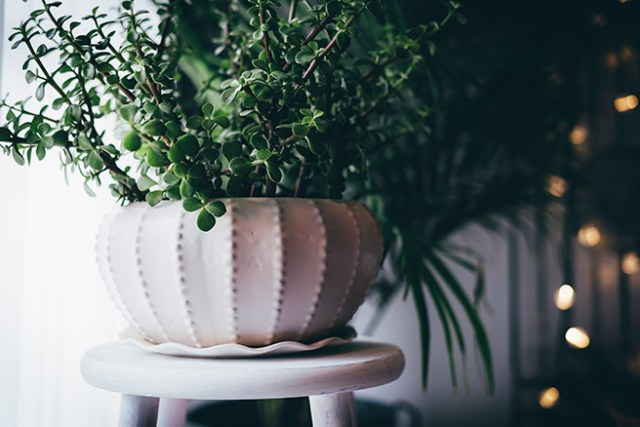 A string of fairy lights behind a jade plant in a white ceramic pot
