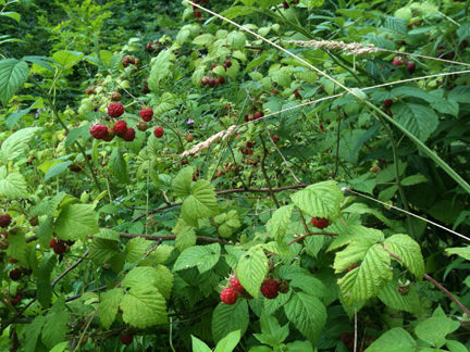 wild raspberry bush covered in ripe raspberries