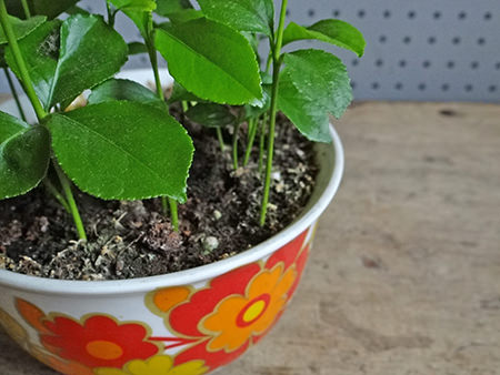 Lemon seedlings growing in a vintage oversized tea cup