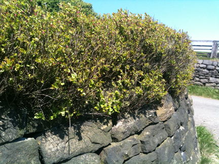 curved dry stone wall with bilberry bushes growing above