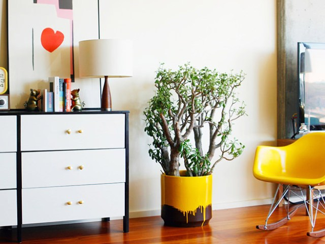 Large money plant in a yellow dipped ceramic pot