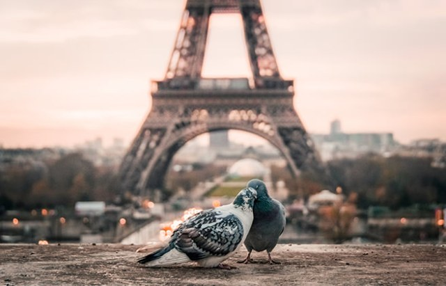 Pair of pigeons with the Eiffel Tower in the background