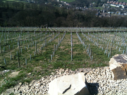 Grape vines at Holmfirth Vineyard | H is for Home