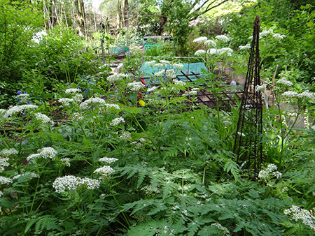 cow parsley growing on our allotment