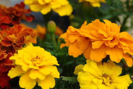 French marigold flowers | H is for Home