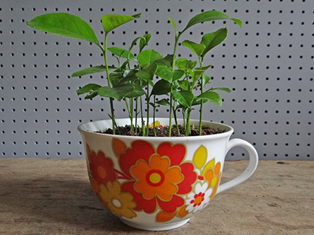 growing lemon seedlings in a vintage oversized tea cup | H is for Home