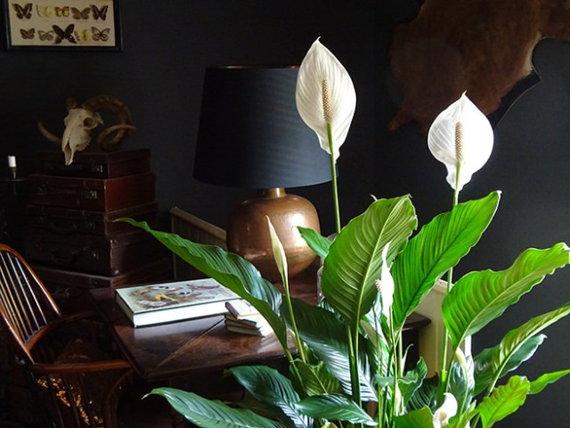 Peace lily | H is for Home