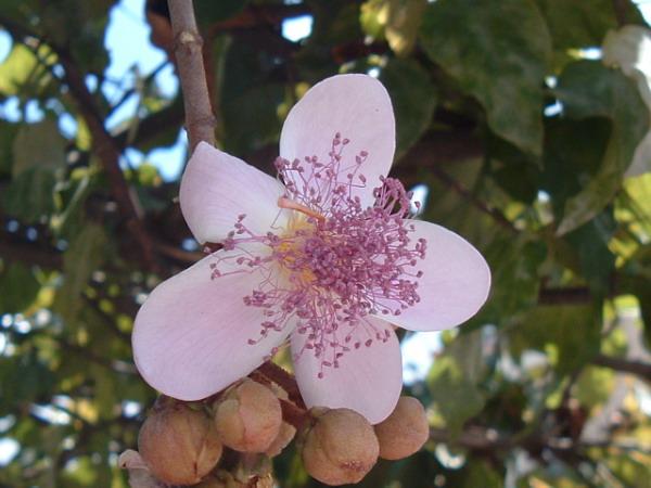 Achiote flower