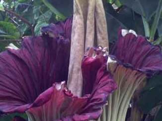 A path with heart: corpse flower