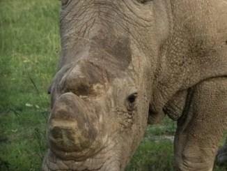 Sudán, el último rinoceronte blanco, un cuento de mia ruffino