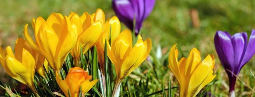 photo de fleurs jaunes et violettes en gros plan