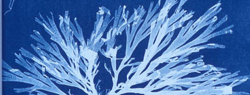 détail d'un cyanotype d'une algue par Anna Atkins