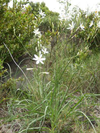 Anthericum liliago. Phalangère à fleur de lis. Floraison 04 à 05.