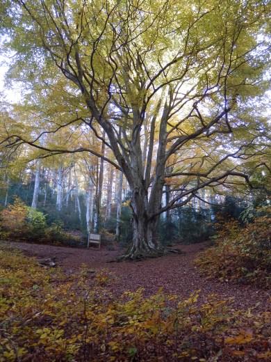 Le Fagas du bosc d'en Baillette au 20 novembre.