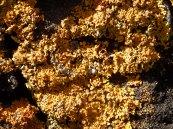 Lichen sur schiste noir.