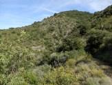 Bosquet d'oliviers sauvages, sur la surface la moins boisée. Route Dpt 7, km 2 après Sournia, altitude 600 m. Au premier plan le Sentier des Ponts romains, ancienne route de Sournia à Estagel.