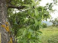 Poirier à feuilles d'amandier. Forme à limbe non lobé, 4.