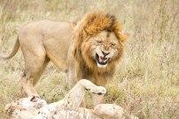 Reproduction des lions au Cratère du Ngorongoro