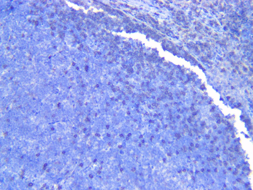 Canine lymph CD20