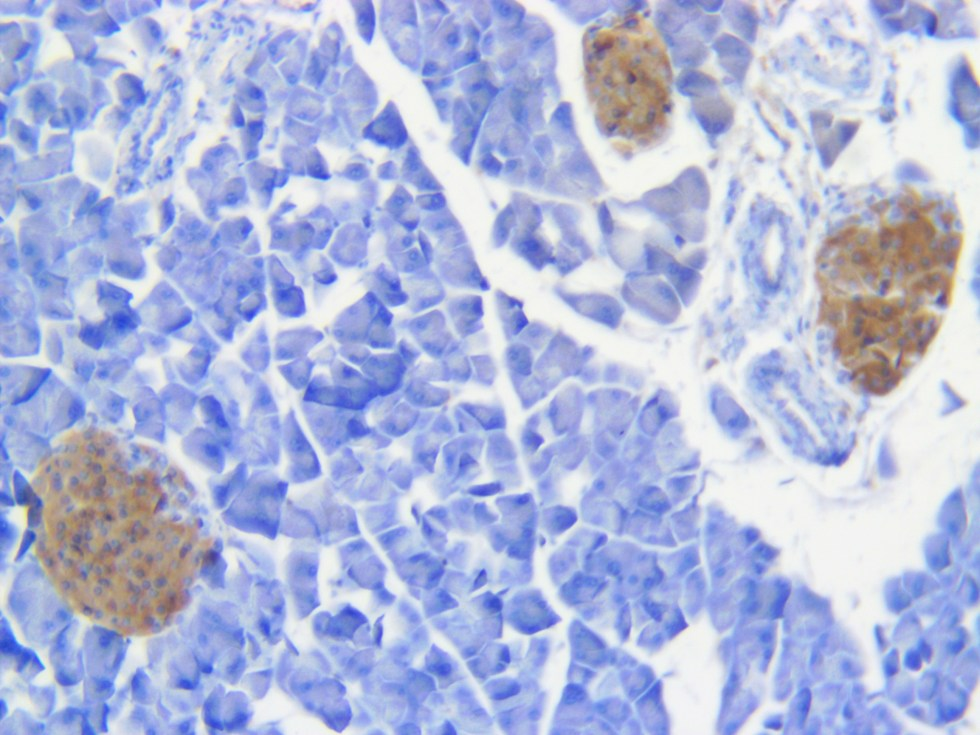 Mouse pancreas Insulin antibody