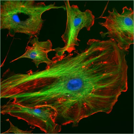 confocal illustration of a cell and cytoskeleton