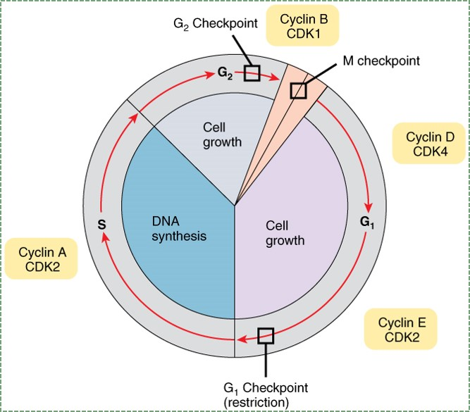 illustration of the cell cycle