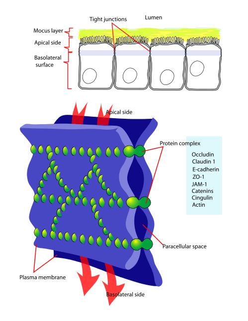 illustration of tight junctions