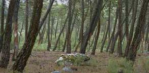 Pinos resinados y pote de barro. Tabuyo del Monte, León.