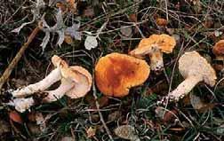 Las gamuzas (en este caso: Hydnum rufescens) tienen púas —en vez de poros o láminas— por lo que son especies muy fáciles de identificar.