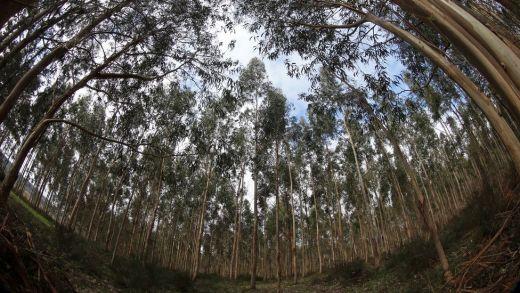 As plantacións de eucaliptos son un dos maiores perigos aos que se enfronta o megalitismo galego / inter.rev.foroactivo.com