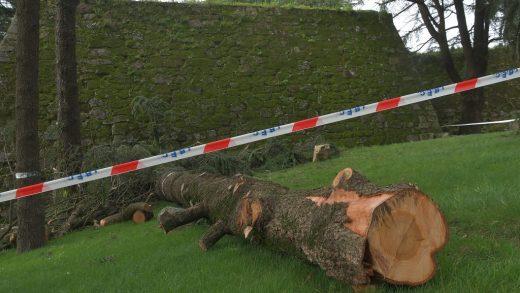 Cortan quince grandes árbores no Monte do Castro de Vigo para dar visibilidade á muralla