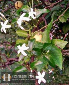 Limonero en flor