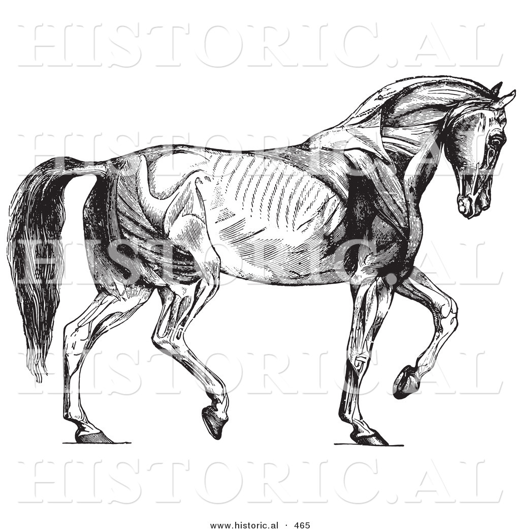 Historical Vector Illustration Of A Walking Horse Muscles