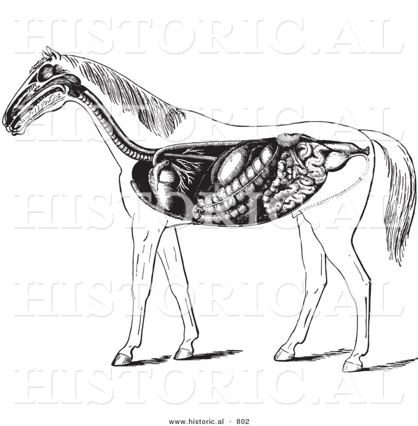 Historical Vector Illustration of Horse Anatomy Featuring ...