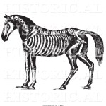 Historical Vector Illustration Of Horse Anatomy Featuring The Skeleton Black And White Version By Picsburg 527