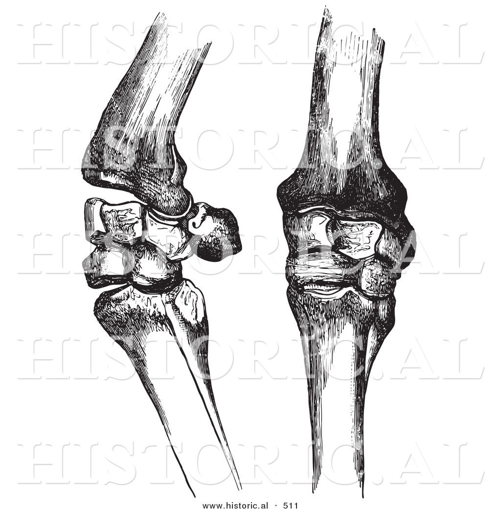 Historical Vector Illustration Of Horse Knee Bones And