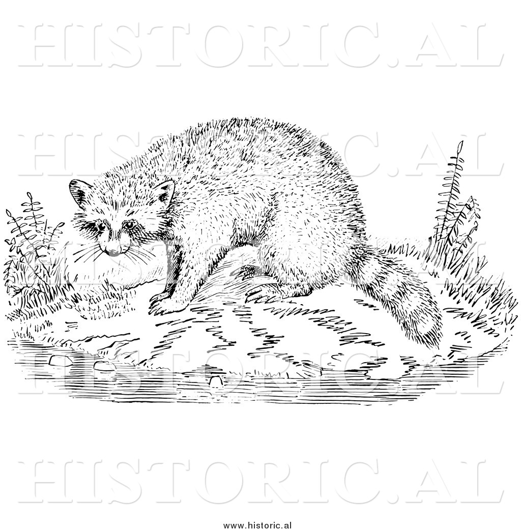 Illustration Of A Raccoon Beside Water