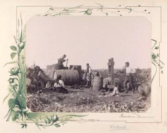 Storsul strugurilor în Basarabia la 1889