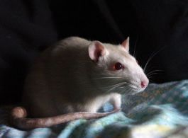 Rat - Foto: stock.xchng