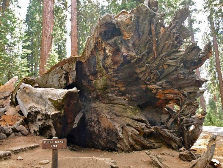Omgevallen Wawona Tree - Foto: CC