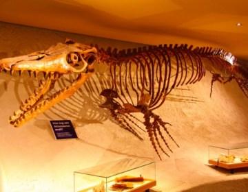 Mosasauriërs waren reusachtige hagendissen die perfect aangepast waren aan het leven in de zee. In totaal kennen we 5 soorten Mosasauriers. Deze Mosasauris is het hele jaar door te bewonderen in het Natuurhistorisch Museum, de Boquetplein 3, te Maastricht.