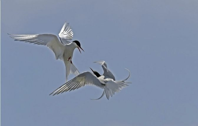 Akkefietje - Twee ruziënde vogels (CC0 - Pixabay - Georg_Wietschorke)