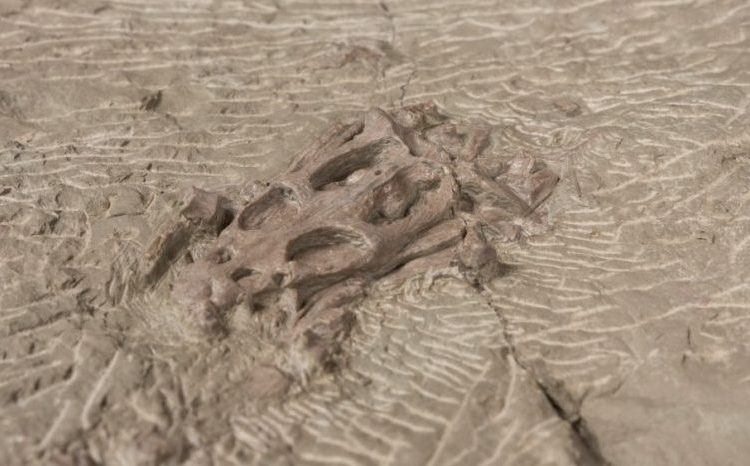 Amateur-paleontoloog vindt prehistorisch schedeltje (TwentseWelle)