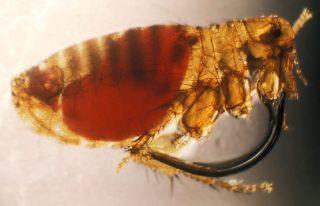 Rattenvlo. Als de vlo bloed heeft opgezogen van een besmette rat kan deze de pestbacterie (Yersinia pestis) na het bijten van een mens doorgegeven. - cc