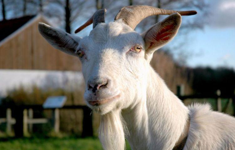 De kool en de geit sparen