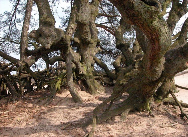 Oude eikenstrubben op de Loonse en Drunense Duinen (Brabant). Huizenga geeft aanwijzingen om te voorkomen dat ze afsterven. (Foto: Bert Maes)