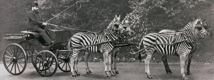 Lionel Walter Rothschild met zijn zebra's