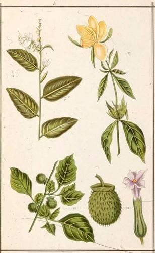 et plantje rechtsonder is ketjoeboeng. Uit de platenatlas van de Indische kruidengeneeskundige mevrouw J. Kloppenburg-Versteegh.